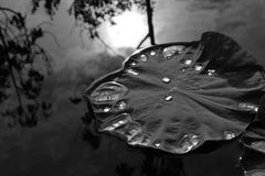 Lotus leaf with water drops Royalty Free Stock Images