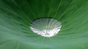 Lotus leaf with water Stock Photography