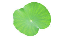 Lotus leaf. On white background stock photo