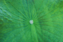 Lotus leaf with white heart. White heart on the lotus leaf Stock Photos