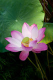 A lotus with leafs Royalty Free Stock Photos