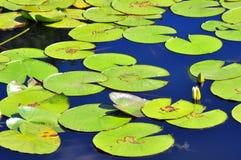 Lotus leafs Royalty Free Stock Image