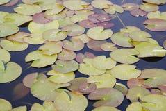 Lotus Leafs Floating auf dem Wasser, Schuss genommen von oben, Urlaub über See im Park stockbilder