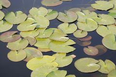 Lotus Leafs Floating on the Water, Shot taken from above, Leave over Lake in Park. Isolated Royalty Free Stock Image