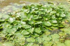 Lotus Leafs i dammet arkivbild