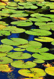 Lotus leafs in a pond Royalty Free Stock Photography