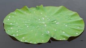 Lotus leafs. Water drops on lotus leaf Royalty Free Stock Image