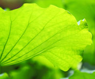 Lotus leave Stock Photography