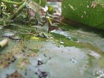 Lotus Leaves über dem Wasser stockbild