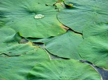 Lotus Leaves Stock Photo