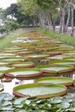 Lotus leaves Royalty Free Stock Image