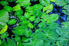 Lotus leaves. In pond,close up shot Royalty Free Stock Image