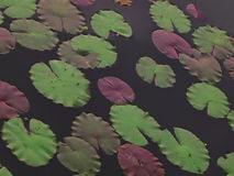 Lotus leaves Royalty Free Stock Photo