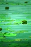 Lotus leaves. Green lotus leaves on the lake Royalty Free Stock Image