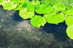 Lotus Leaves lizenzfreies stockbild