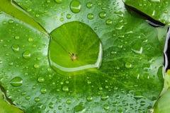 Lotus Leaves Fotografia Stock Libera da Diritti