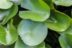 Lotus Leaves Fotografia de Stock
