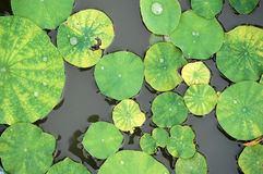 Lotus leaves Stock Photo
