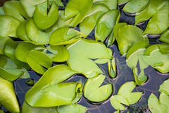 Lotus Leaves Arkivbild