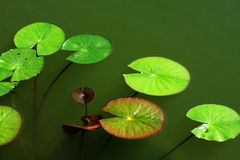 Lotus leaves Royalty Free Stock Image