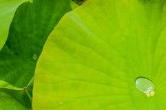 Lotus Leaves Foto de Stock