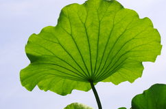 Lotus Leaves Royaltyfri Bild
