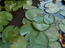 Lotus Leaves Photos stock