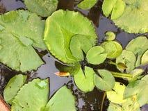 Lotus Leaves Imagen de archivo