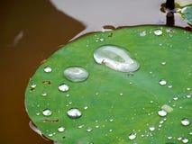 Lotus Leaves Imagens de Stock Royalty Free