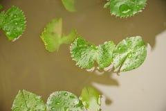 Lotus Leaves Fotografía de archivo libre de regalías