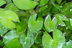 Lotus Leaves Stock Afbeeldingen