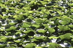 Lotus leaves background Royalty Free Stock Photo