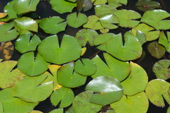 Lotus leaves background. Pond surface with green lotus leaves, no waterlilies Stock Images