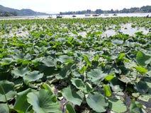 Lotus Leaves stockbilder
