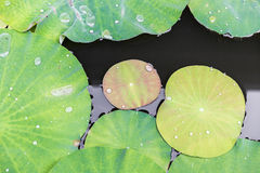 Lotus leaves Royalty Free Stock Photos