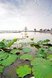 Lotus leaves on canal Stock Photo