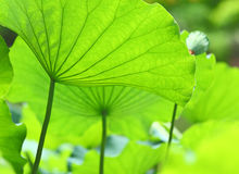 Lotus leaves Stock Image