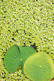 Lotus leaves and duck-weeds Royalty Free Stock Photos