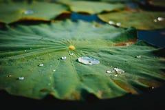 Lotus Leaves en automne avec le dorplet de l'eau Photographie stock libre de droits