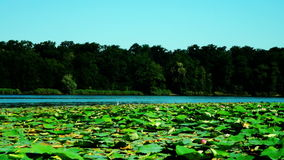 Lotus Leaves And Flowers (Nelumbo Nucifera) With Birds And Waves On Lake stock footage