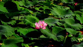 Lotus Leaves And Flowers (Nelumbo Nucifera) On Lake stock footage