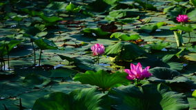 Lotus Leaves And Flowers (Nelumbo Nucifera) On Lake. Nelumbo nucifera, also known as Indian lotus, sacred lotus, bean of India, or simply lotus, is one of two stock video