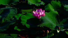 Lotus Leaves And Flowers (Nelumbo Nucifera) On Lake With Sound, Pan stock footage