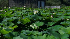 Lotus Leaves And Flowers (Nelumbo Nucifera) On Lake with Sound, Pan. Lotus Leaves And Flowers (Nelumbo Nucifera) On Lake, summertime stock footage