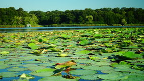 Lotus Leaves And Flowers (Nelumbo Nucifera) On Lake With Sound, Pan. Lotus Leaves (Nelumbo Nucifera) On Lake, Summertime stock footage