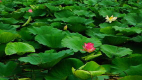Lotus Leaves And Flowers (Nelumbo Nucifera) On Lake . Waves and Breeze stock footage