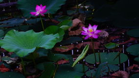 Lotus Leaves And Flowers (Nelumbo Nucifera) On Lake. Waves And Sound stock footage