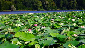 Lotus Leaves And Flowers (Nelumbo Nucifera) On Lake With Wind stock video footage