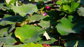 Lotus Leaves And Flowers (Nelumbo Nucifera) On Lake With Wind And Sound stock footage