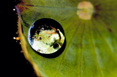 Lotus leaves Glob Royalty Free Stock Photo